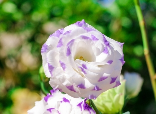 BLOMMA / Flower
