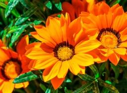 Solguld, en tacksam blomma.
