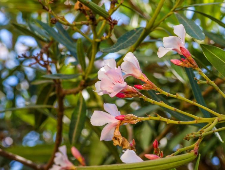 Vackra men för mig, namnlösa. De här växer inte på vår terrass men i Independence Gardens här i Sliema.