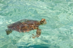 Situated within the Sea Turtle Corridor, Lankayan Island is also a nesting place and foraging ground for sea turtles.