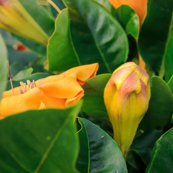 A bud among hundreds of others growing in Independence Garden here in Sliema.