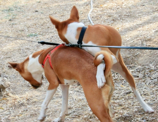 We have only meet one Basenji so far here in Malta. They are not common at all and I think there are not more than 5-6 dogs of this breed here on the island..