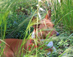 Hiding in the grass. Today, the green grass is gone because of the heat.