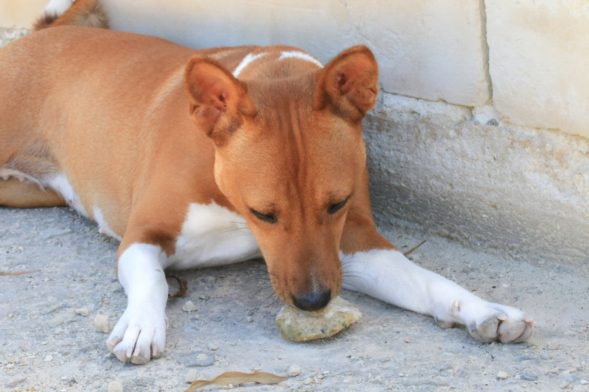 I don't know why but Fanny has always enjoyed chew on stones and I have noticed that's a commmon habit even in other dogs.