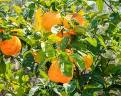 Oranges, some were a bit too ripe.