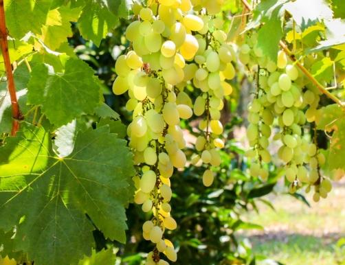 Green sweet grapes