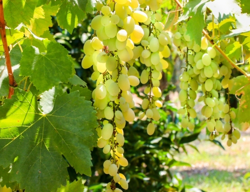 Green sweet grapes