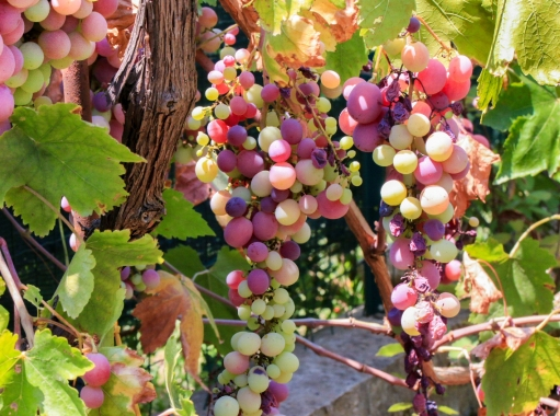 Grapes, grapes, there were lots of grapes.