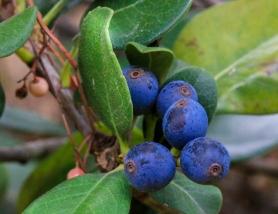 Nej, några blåbär växer det inte här och jag vet inte vad dessa bär är.
