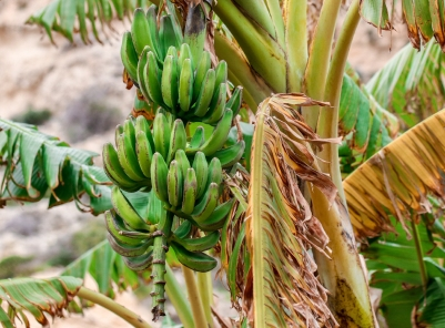 A banana plant!