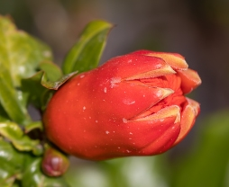 1. The bud slowly starts to open.