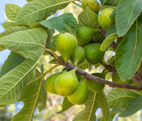 Figs on the fig tree are soon ready to be picked.